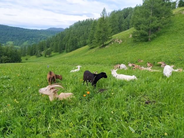 흰색과 검은색 염소 떼가 여름에 알타이 산맥의 푸른 풀밭에서 풀을 뜯고 있습니다. 모바일 사진.