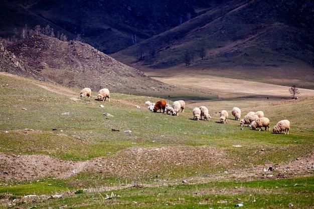 Стадо белых и войлочных овец пасется на зеленом лугу в горном районе алтая