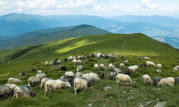 山の美しい山の風景の景色の白い羊の群れ