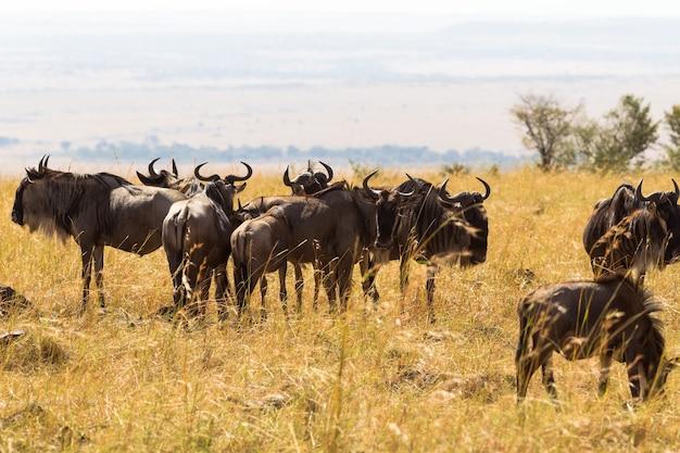 Стадо диких антилоп в саванне масаи мара кения