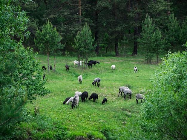 Стадо молодых овец и коз, пасущихся на зеленом сочном лугу в лесу в пасмурную погоду, вид сверху.