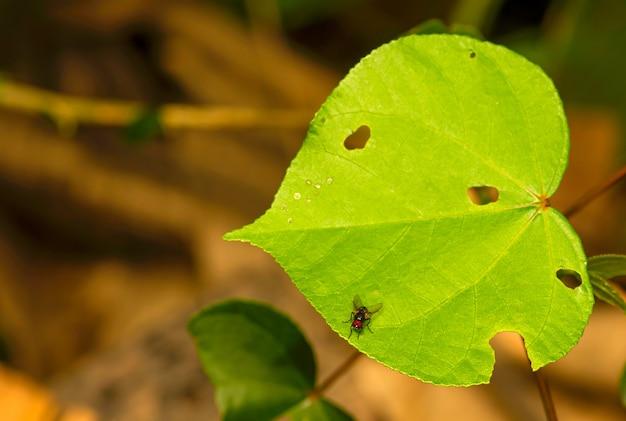 얕은 초점에 많은 구멍과 파리가 있는 히비스커스 틸라세우스 잎