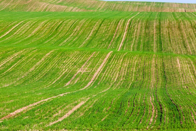 Холмистое волнистое поле с растущими зелеными ростками пшеницы, пейзаж в конце лета или в начале осени, озимые сорта злаков