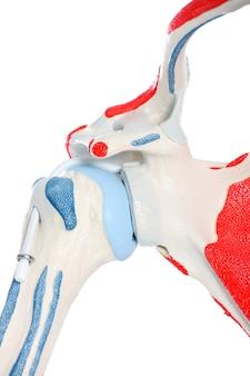 白い背景の上の腰の骨と関節