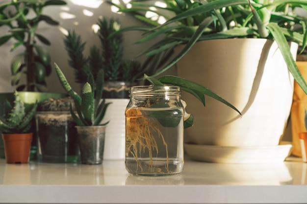 ガラスの瓶に入った自家植物が根付いた。観葉植物、エコライフスタイル、趣味で家を緑化。
