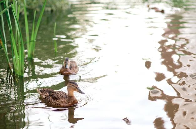 Горизонтальный снимок милых уток, плавающих в озере. дикие утки в природе.