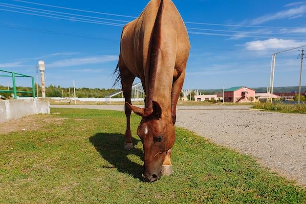 農場の馬が草をかすめる