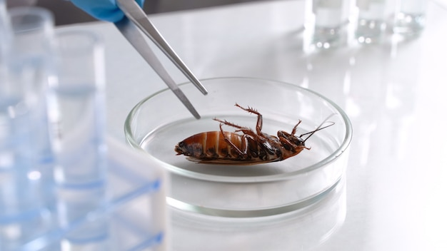 Огромный мертвый таракан лежит в чашке петри. ученый тестирует пестициды