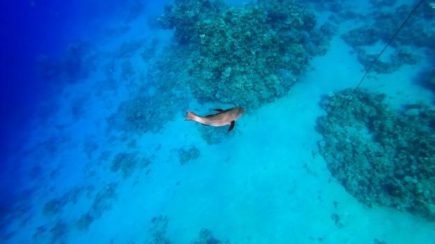 거대한 회색 물고기가 해저에서 헤엄치고 멀리 헤엄칩니다.