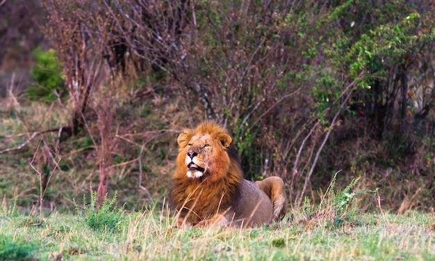 Огромный лев в саванне Premium Фотографии