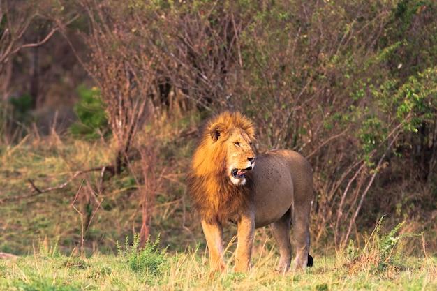 Огромный лев в саванне