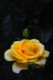 葉を背景に茂みに巨大なバラのつぼみ