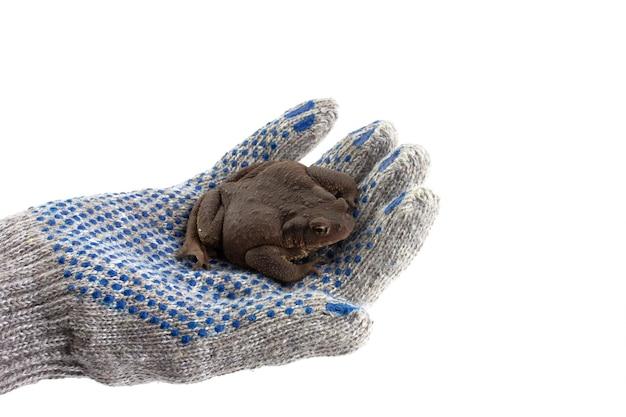 Человеческая рука в перчатке держит земляную жабу, изолированную на белом фоне