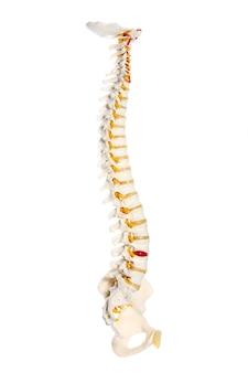 흰색 배경 위에 인간의 척추 준비