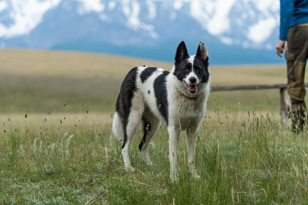 Охотничья собака черно-белого окраса стоит на фоне заснеженных вершин. путешествие с собакой.