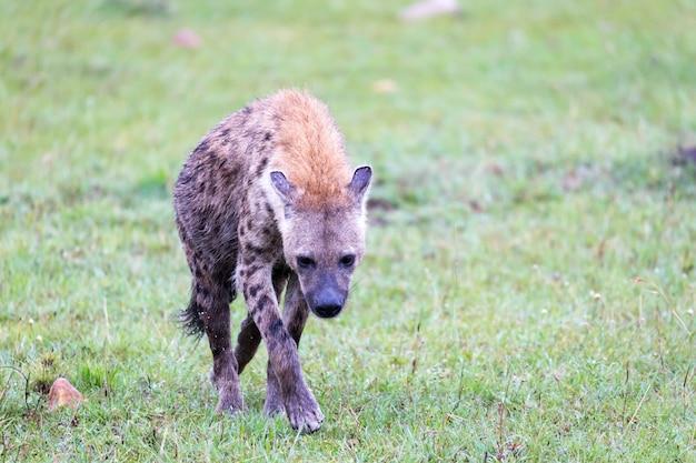 Гиена гуляет в саванне в поисках еды