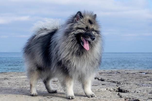 혀가 튀어 나온 키 혼드 개가 바다를 배경으로 부두에 선다.