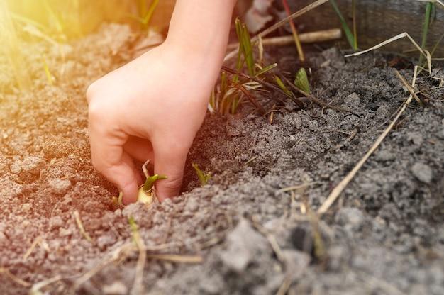 春に土のある庭のベッドにニンニクの発芽種子を手で植える子供たち。
