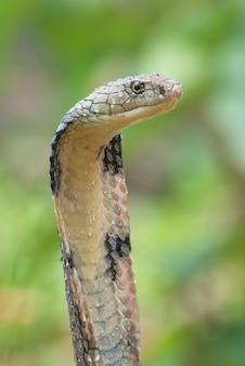 攻撃位置にあるキングコブラ