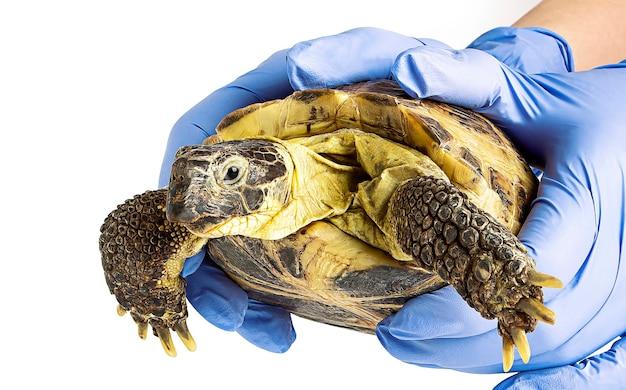 Сухопутная черепаха в руках ветеринара, изолированного на белой поверхности