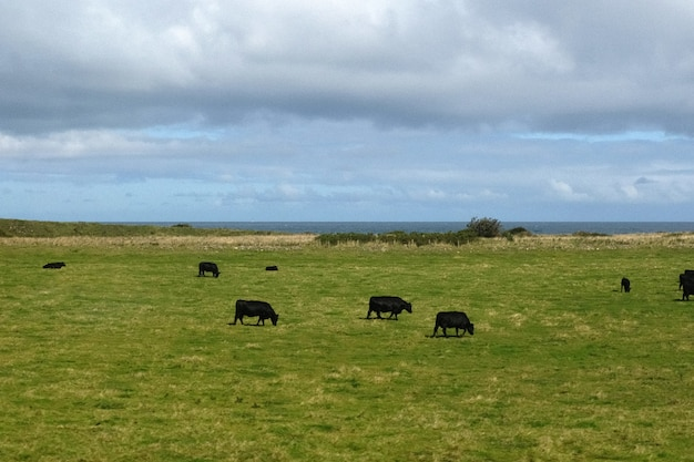 Пейзаж поля у моря со стадом высокогорной коровы