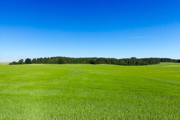 Пейзаж сельскохозяйственных полей, на которых растет зеленая недозрелая рожь.