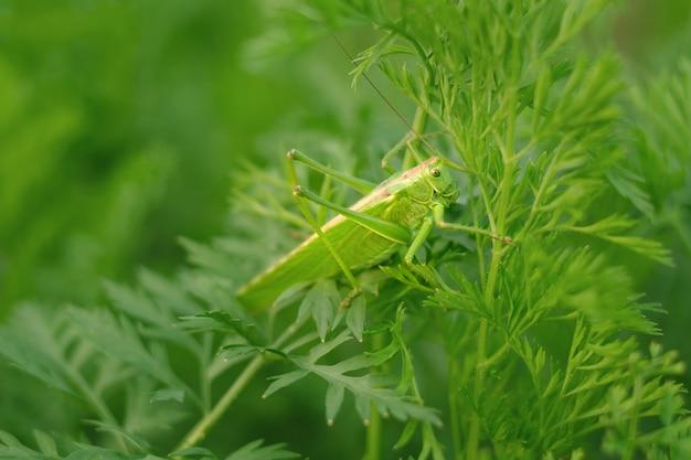 크고 아름다운 녹색 메뚜기가 나뭇잎 위에 앉아 있다