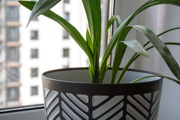 녹색 식물이 있는 큰 흑백 냄비가 창가의 흰색 창턱에 서 있습니다. 근접 촬영 보기