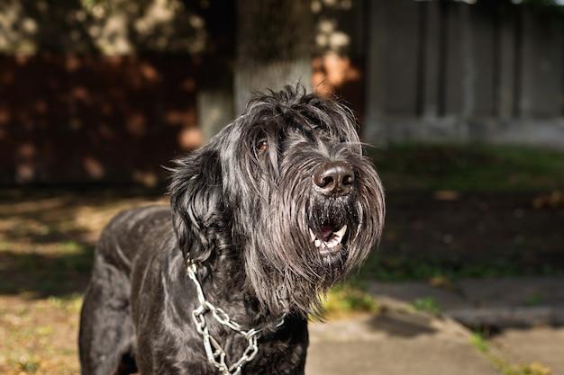 通りすがりの人に長い髪の吠え声をあげる大きな黒い犬