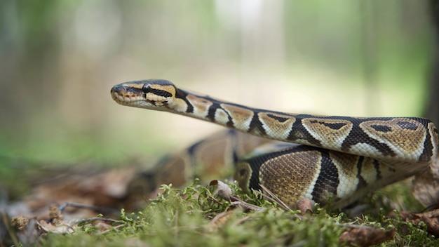 큰 보아뱀이 천천히 머리를 들어 올립니다. 숲 클로즈업에서 뚱뚱한 뱀입니다. 흐린 배경, 4k uhd.