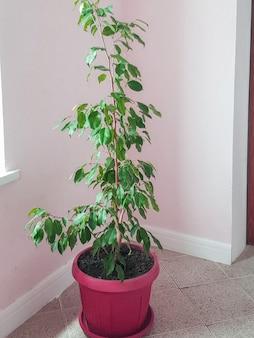 リビングルームやオフィススペースの縦のフレームの隅に、イチジクの屋内花が付いた大きな茶色の植木鉢が立っています。