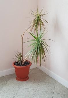 トロピカルドラセナの花が付いた大きな茶色の植木鉢が、リビングルームまたはオフィススペースの垂直フレームの隅に立っています。