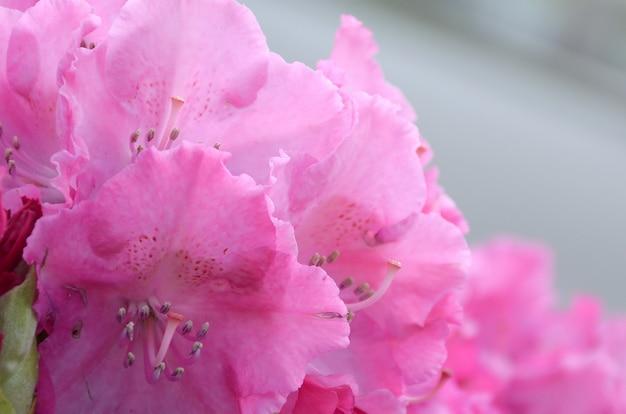 植物園で咲くピンクのシャクナゲの大きなブッシュ