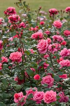 Большой куст розовых роз под дождем. много бутонов. вертикальная рамка. видны падающие капли дождя. выборочный фокус.