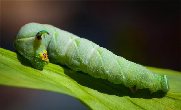꼬리에 뿔이 달린 연한 녹색의 큰 애벌레가 잎 위에 앉아 있다