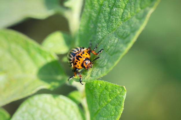 Большой колорадский жук сидит на листе картофельного куста