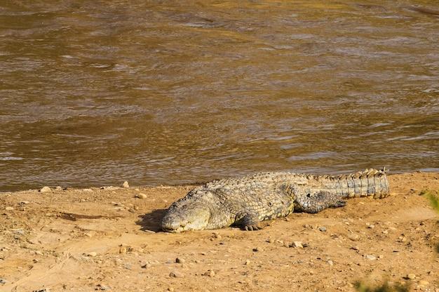 Большой крокодил на берегу реки
