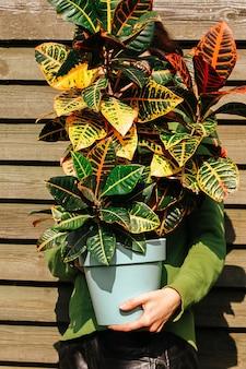 男の手にある大きなクロトン植物。天然木の背景