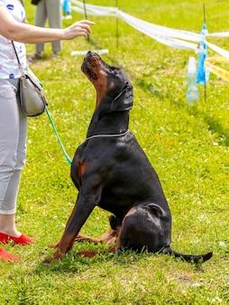 大きなドーベルマン犬が芝生の上の公園に座って、彼の愛人を熱心に見ています