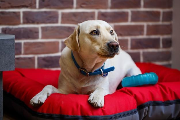 赤いくずの上に横たわっている明るい色のラブラドールコートの大型犬