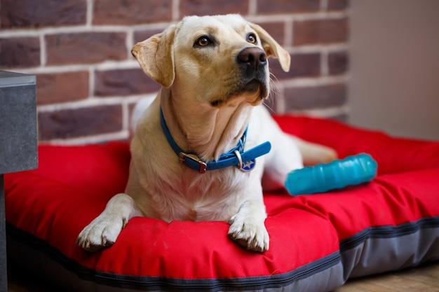 빨간 쓰레기에 누워 밝은 색 래브라도 코트의 큰 개