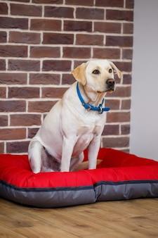 明るい色のウールのラブラドール犬種の大型犬がレンガの壁に向かって赤いくずに座っています