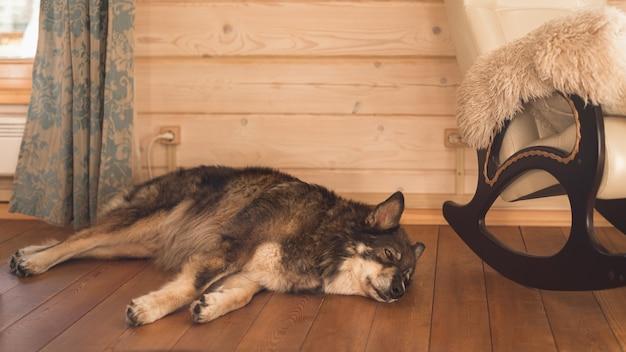 Большая собака спит на деревянном полу рядом с креслом-качалкой.