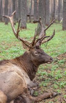 Большой лось или олень с большими рогами лежит на земле среди деревьев.
