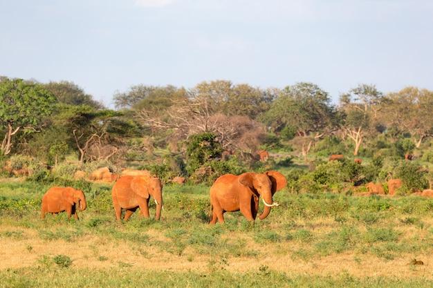 Большая семья красных слонов на пути через кенийскую саванну