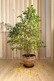실내 꽃을 잘 관리하지 않는 벤자민의 큰 ficus는 낙엽이 노랗게 된 국내 식물