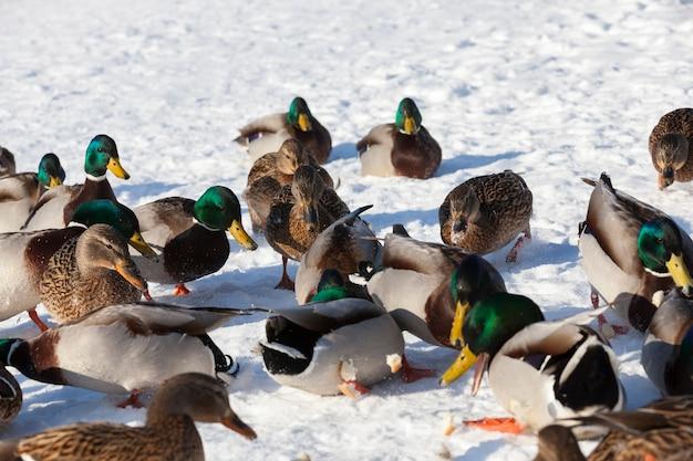 ヨーロッパの冬、霜と雪のある寒い季節にとどまったアヒルの大群、アヒルは雪の中に座っています