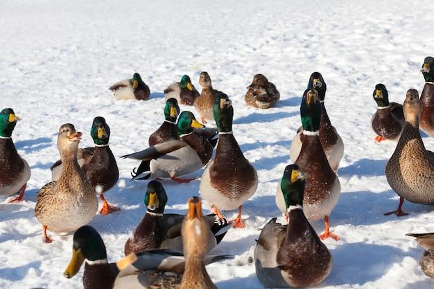 유럽의 겨울, 서리와 눈이 내리는 추운 계절에 머물렀던 많은 오리 떼, 오리는 눈 속에 앉아
