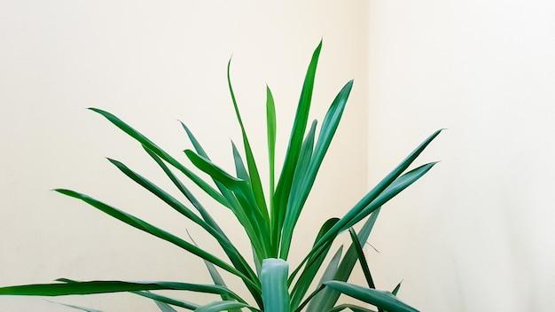 ベージュの壁の近くの太陽の下で鍋に大きな緑の植物。