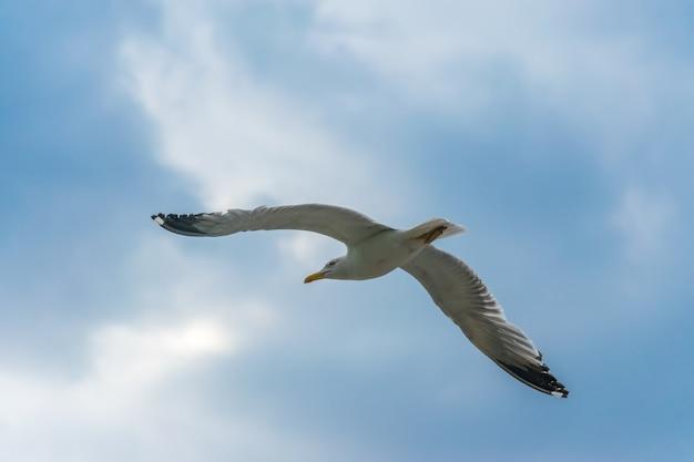 Большая чайка парит над адриатическим морем в черногории.